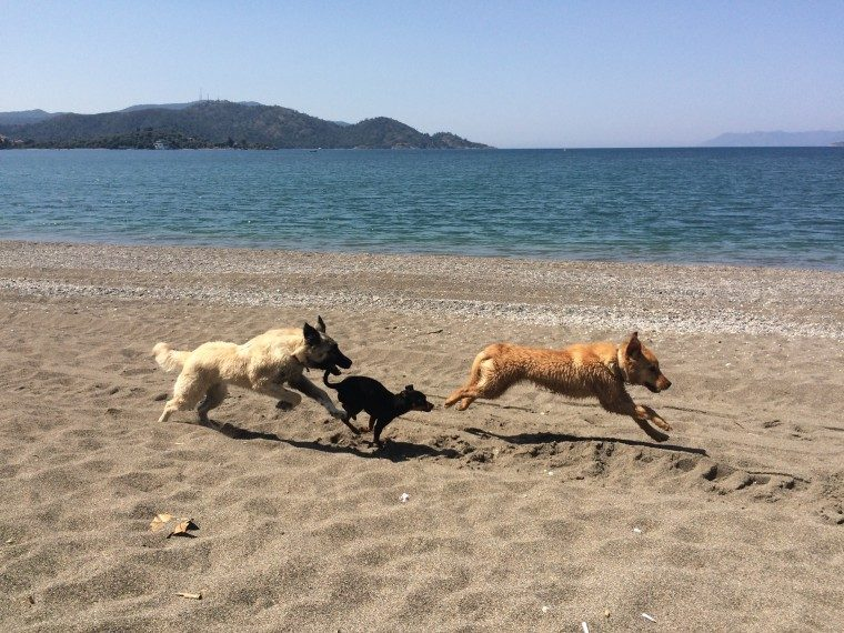 Lucky running with dogs 7
